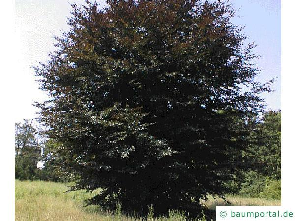 Blutbuche (Fagus sylvatica purpurea) Baum