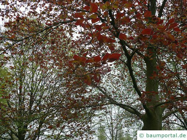 Blutbuche (Fagus sylvatica purpurea) Blätter