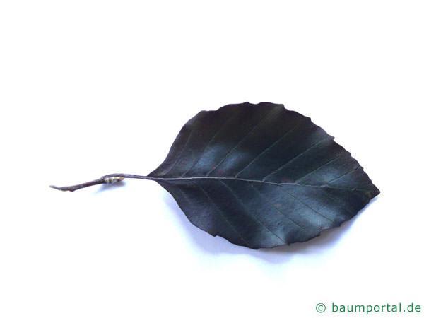 Blutbuche (Fagus sylvatica purpurea) Blatt