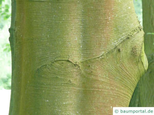 Blutbuche (Fagus sylvatica purpurea) Stamm