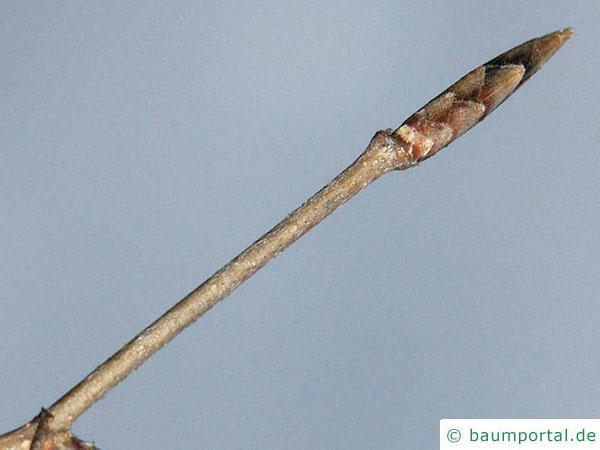 Buche (Fagus sylvatica) Endknospe