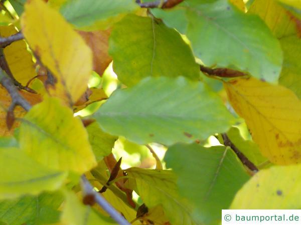 Buche (Fagus sylvatica) Blaetter Herbstfärbung