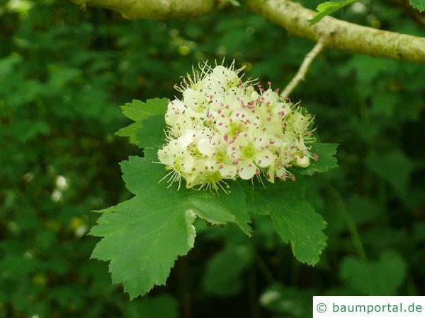 Crataegus maximowiczii Blüte