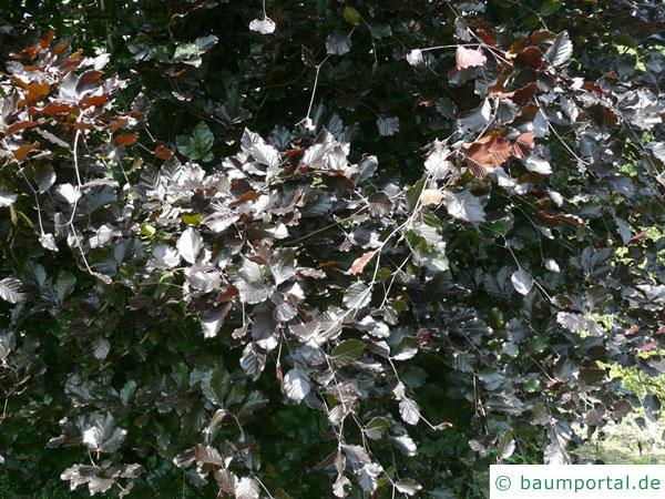 Säulen-Buche 'Purple' (Fagus sylvatica 'Dawyck Purple' ) Blätter