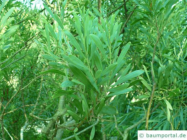 Dietrich Akazie (Acacia dietrichiana) Zweige mit Blättern