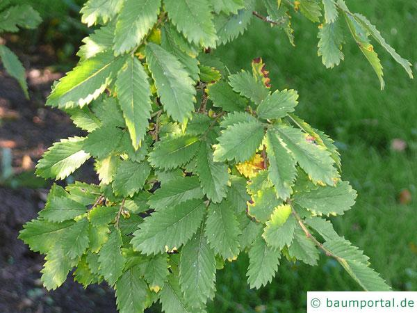 Dorn-Ulme (Hemipetlea davidii) Blätter