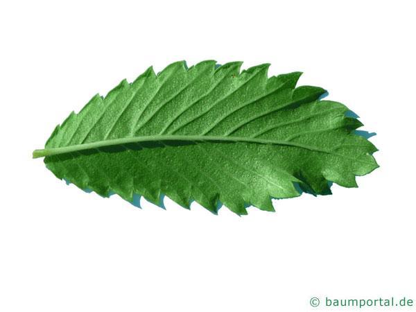 Dorn-Ulme (Hemipetlea davidii) Blatt Unterseite