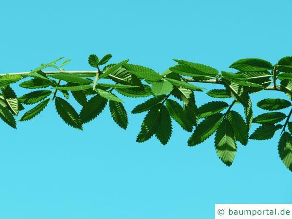 Dorn-Ulme (Hemipetlea davidii) Zweig mit Blättern