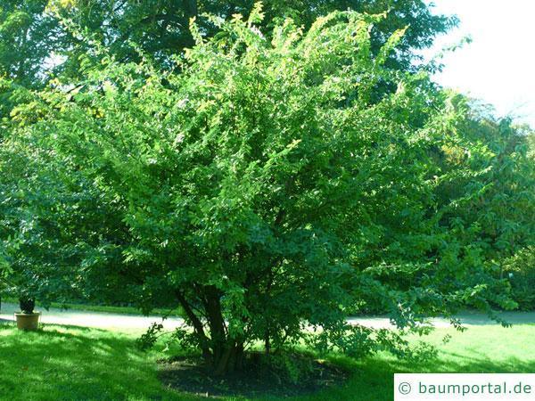 Dorn-Ulme (Hemipetlea davidii) Baum im Sommer