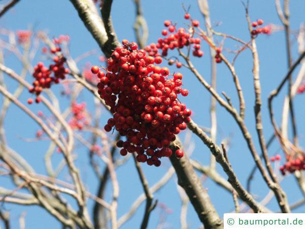 Vogelbeere (Sorbus aucuparia) Frucht