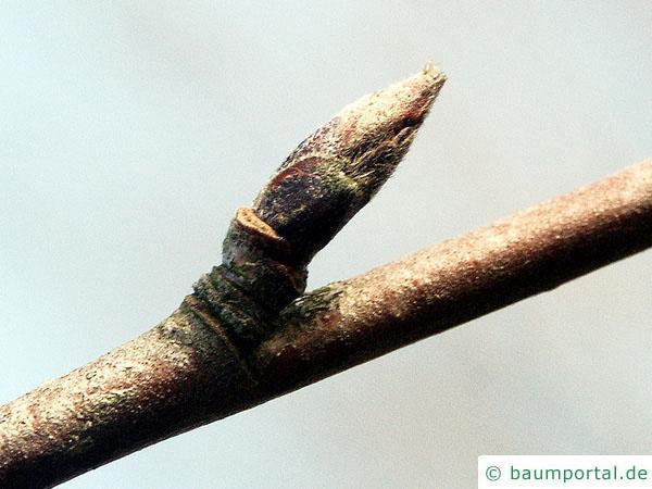 Vogelbeere (Sorbus aucuparia) Seitenknospe