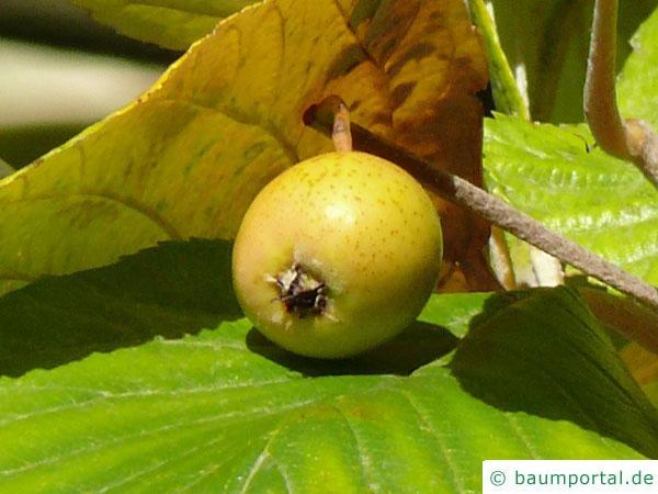 echte Mehlbeere (Sorbus aria) Frucht / Apfel