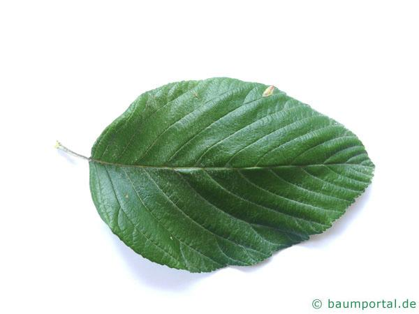 echte Mehlbeere (Sorbus aria) Blatt