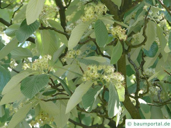 echte Mehlbeere (Sorbus aria) Blüten
