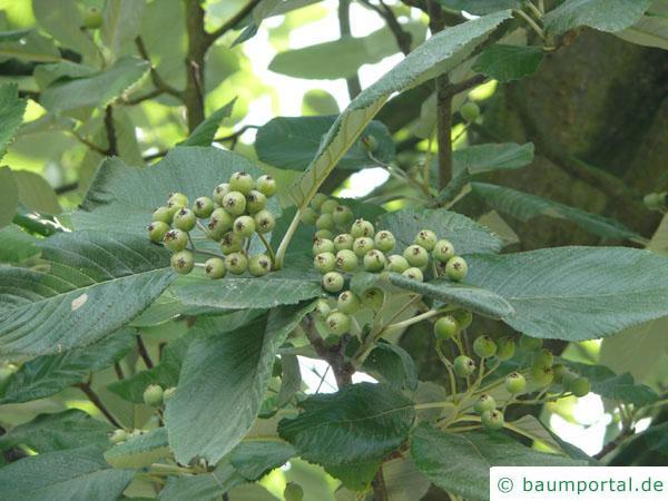 echte Mehlbeere (Sorbus aria) Frucht