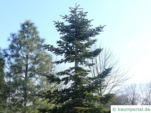 Edeltanne (Abies procera) Baum