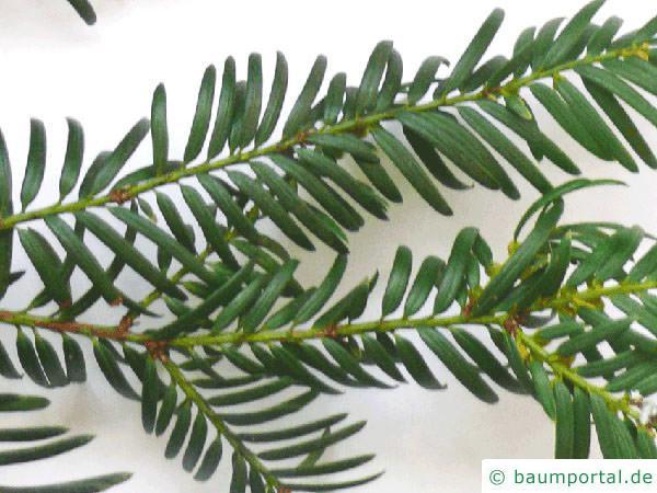 Eibe (Taxus baccata) Nadel