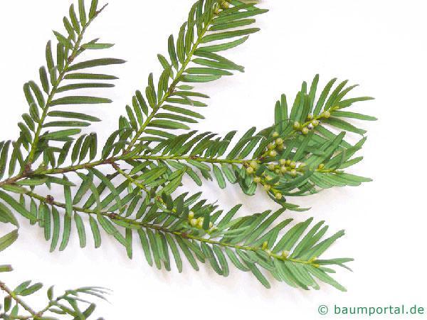 Eibe (Taxus baccata) Zweig