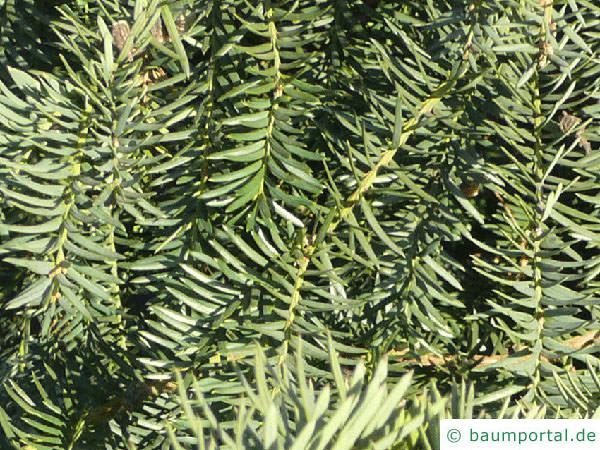Eibe (Taxus baccata) Zweige