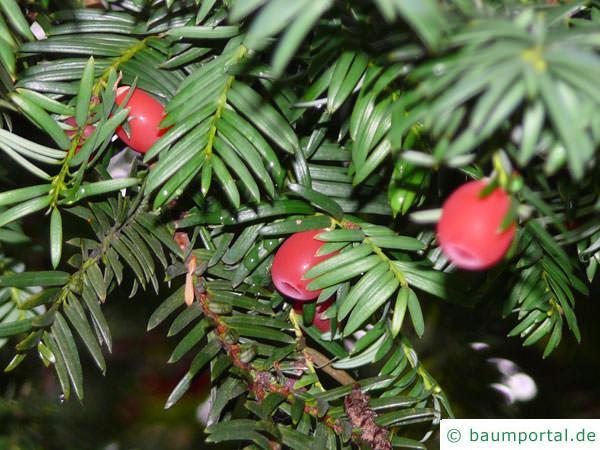 Eibe (Taxus baccata) Beeren