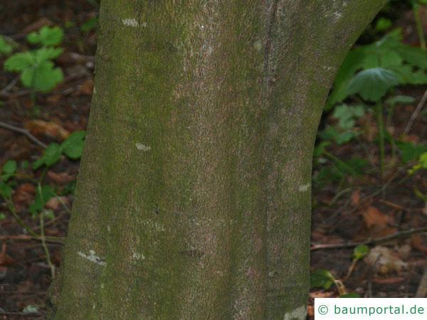 Eichenblatt-Buche (Fagus sylavatica 'Quercifolia') Stamm / Rind / Borke