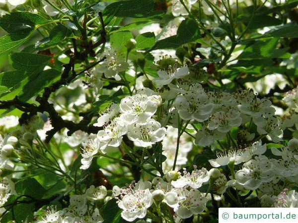 eingriffliger Weißdorn (Crataegus monogyna) Blüte-2