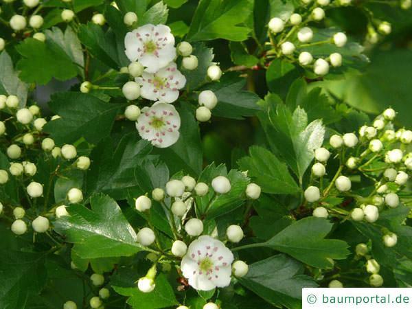 eingriffliger Weißdorn (Crataegus monogyna) Blüten