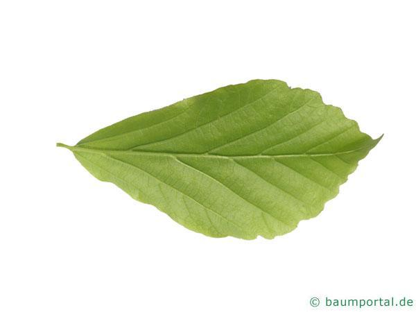 persisches Eisenholz (Parrotia persica) Blatt Unterseite