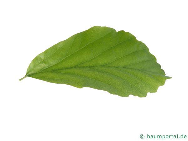 persisches Eisenholz (Parrotia persica) Blatt
