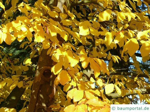 persisches Eisenholz (Parrotia persica) leuchtend gelbe Herbstfärbung