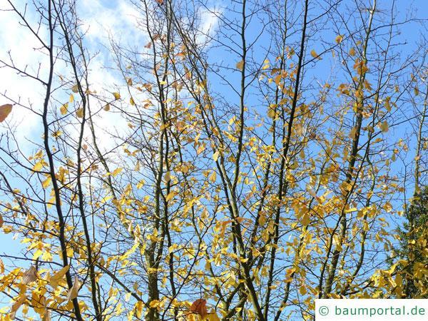 persisches Eisenholz (Parrotia persica) Krone im Winter