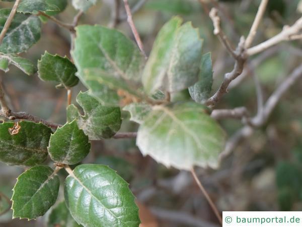 Erlenblättrig-Eiche (Quercus alnifolia) Blätter