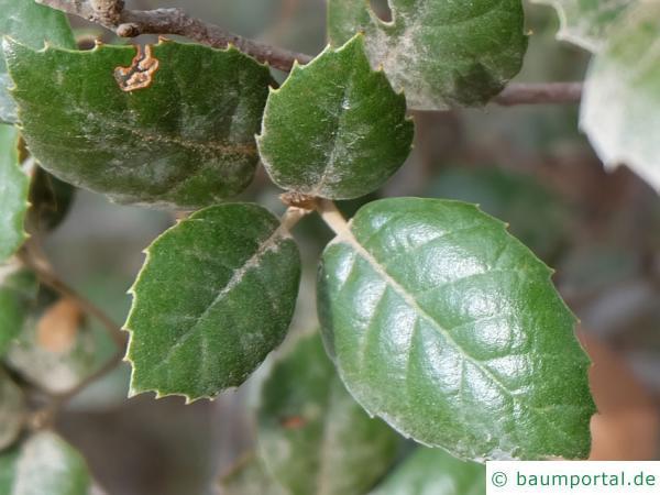 Erlenblättrig-Eiche (Quercus alnifolia) Blatt
