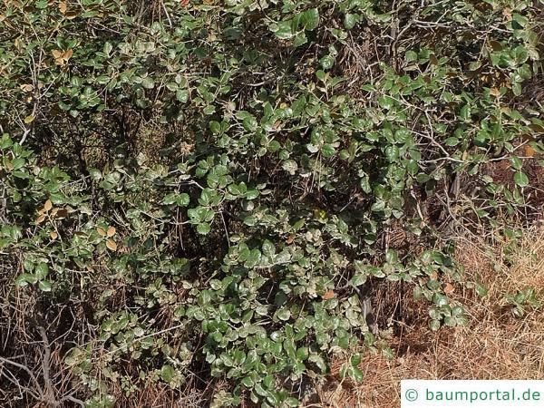 Erlenblättrig-Eiche (Quercus alnifolia) Hier ein strauchartiges Exemplar