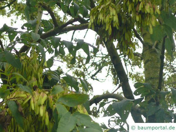 Esche (Fraxinus excelsior) Früchte