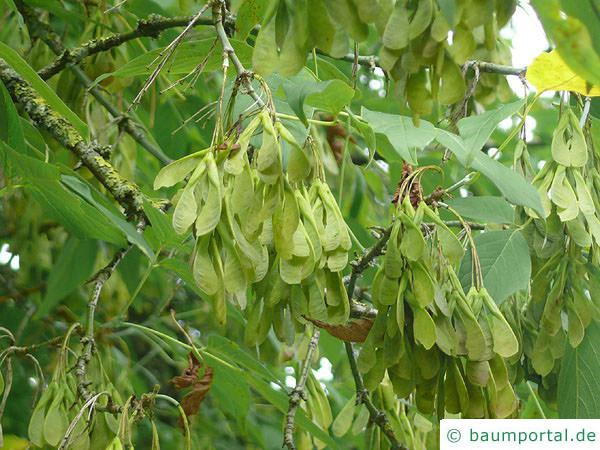 Eschen-Ahorn (Acer negundo) Früchte