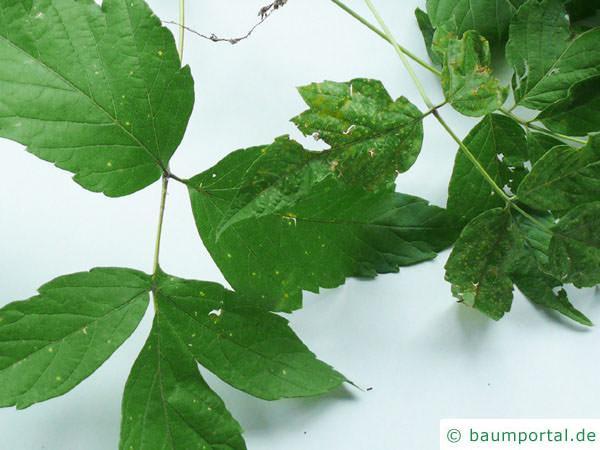 Eschen-Ahorn (Acer negundo) Blätter