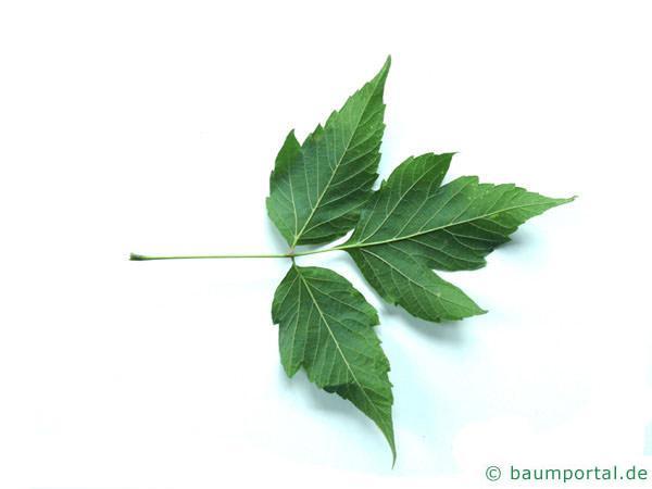 Eschen-Ahorn (Acer negundo) Blatt Rückseite