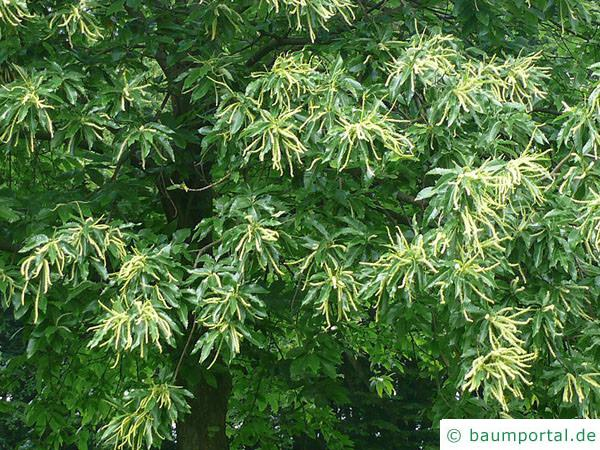 Esskastanie (Castanea sativa) Blatt Blüte
