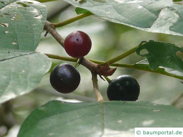 Faulbaum (Frangula alnus) schwarze Früchte im Winter