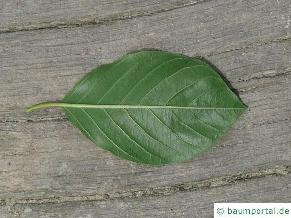 Faulbaum (Frangula alnus) Blatt Unterseite