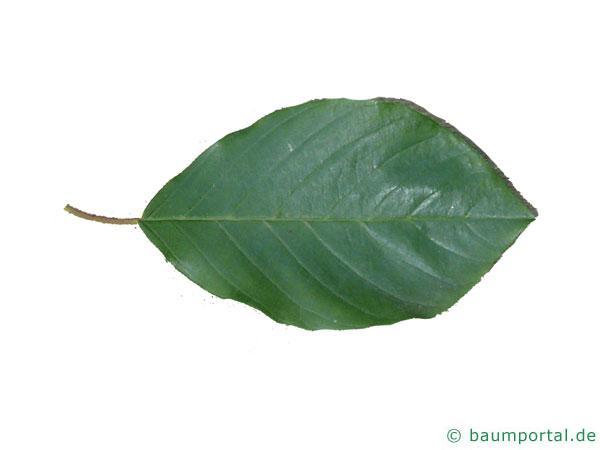 Faulbaum (Frangula alnus) Blatt