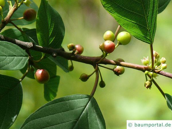 Faulbaum (Frangula alnus) erst grüne dann rote Früchte im Sommer