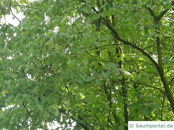Faulbaum (Frangula alnus) Krone mit Früchten