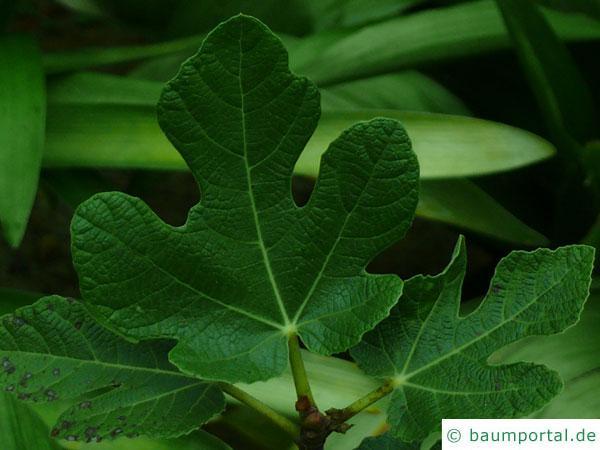 Feige (Ficus carica) junges Feigenblatt