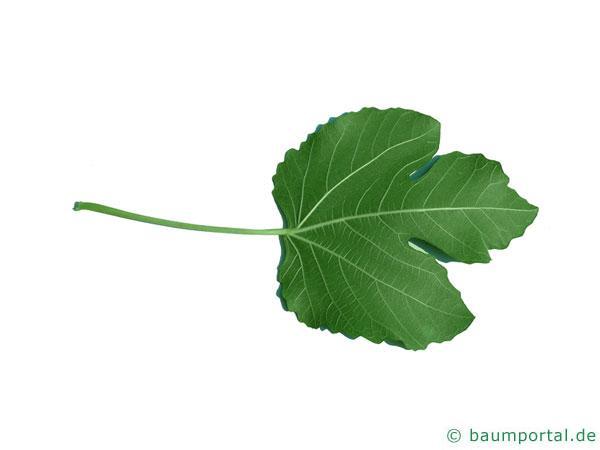 Feige (Ficus carica) Blattunterseite