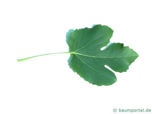 Feige (Ficus carica) Blatt