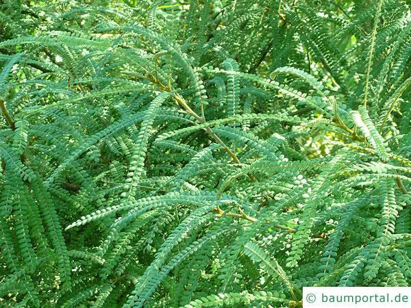 feinblaetteriger Schnurbaum (Sophora microphylla) Blaetter