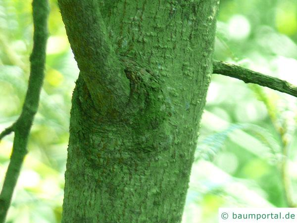 feinblaetteriger Schnurbaum (Sophora microphylla) Stamm / Borke / Rinde