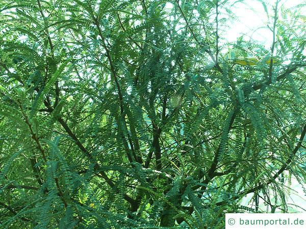 feinblaetteriger Schnurbaum (Sophora microphylla) Wuchs
